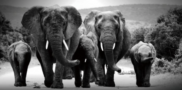 kudde olifanten zwart wit