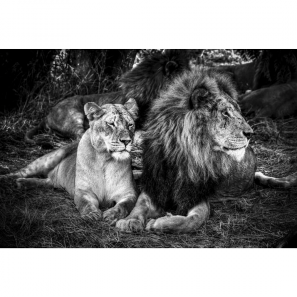 glasschilderij - Leeuw en leeuwin
